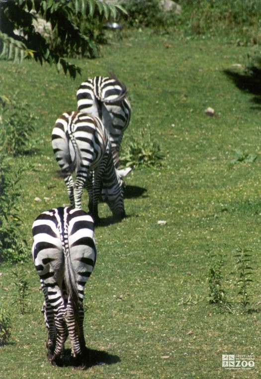 Zebras Walking Away