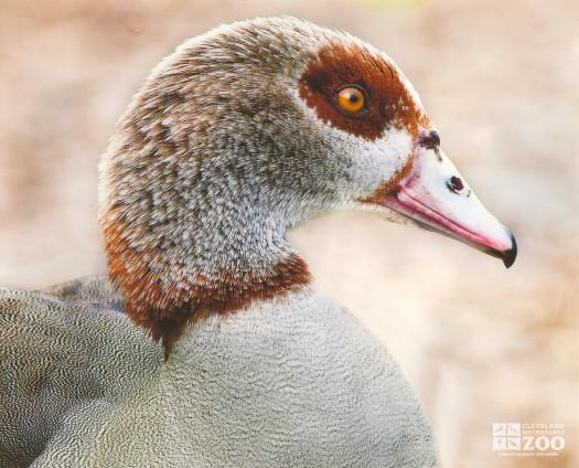 Egyptian Goose Head Shot
