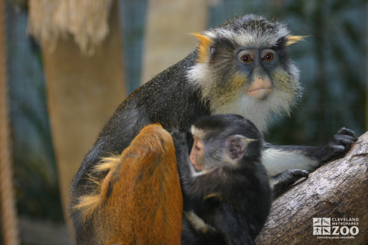 Wolf's Guenon and Baby 2