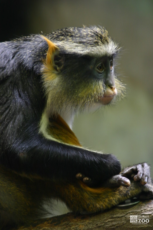 Wolf's Guenon Upclose