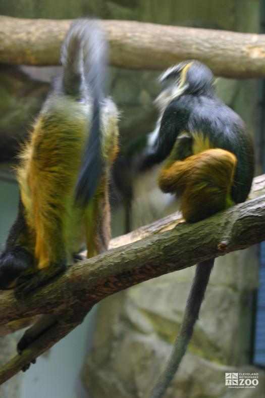 Wolf's Guenon Pair 8