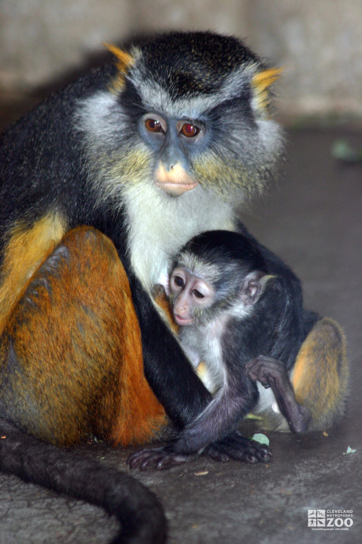Wolf's Guenon and Baby 5