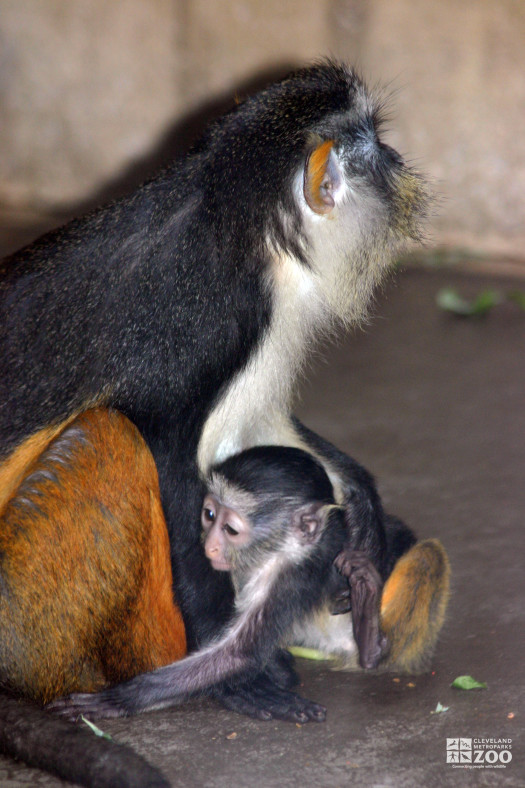 Wolf's Guenon and Baby 6