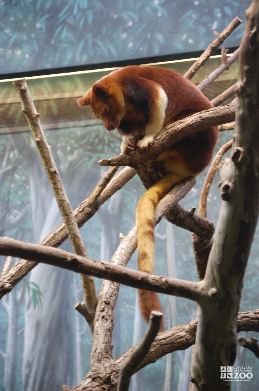 Goodfellow's Tree Kangaroo in Branches