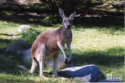 Red Kangaroo 2