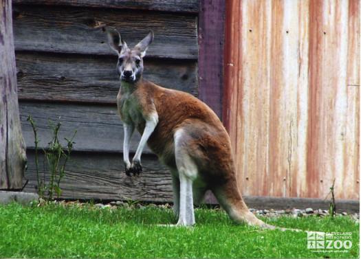 Red Kangaroo Faces Left