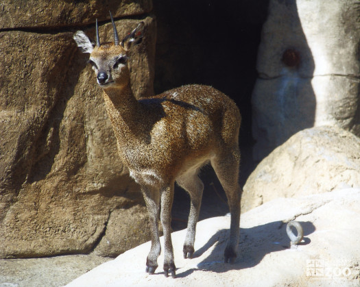 Klipspringer on Monkey Island 4