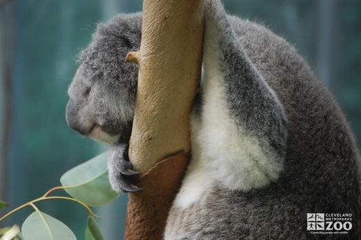 Koala on a Branch