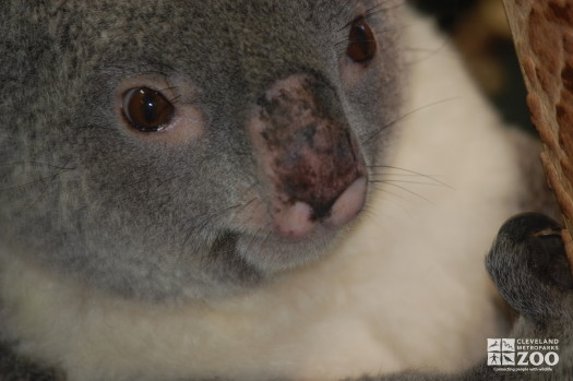 Koala with a Pink Nose