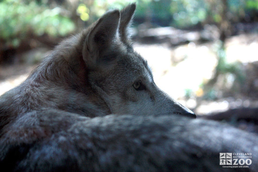 Mexican Grey Wolf Over Shoulder