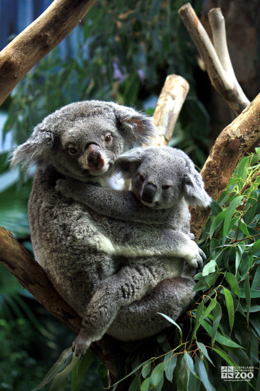 Young Koala with Mother