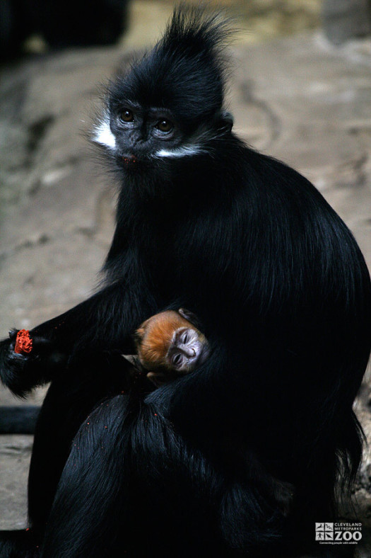 Francois Langur and Baby