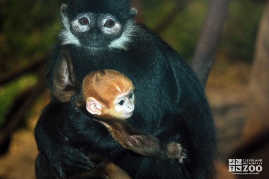 Francois Langur with Baby (2)