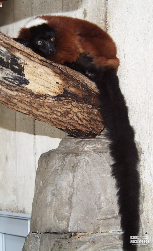 Red Ruffed Lemur on a Log