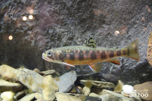 Brook Trout 2