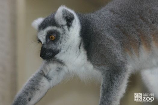 Ring Tailed Lemur Profile