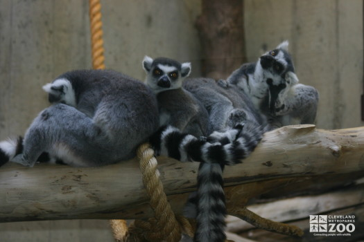 Ring Tailed Lemurs on a Log