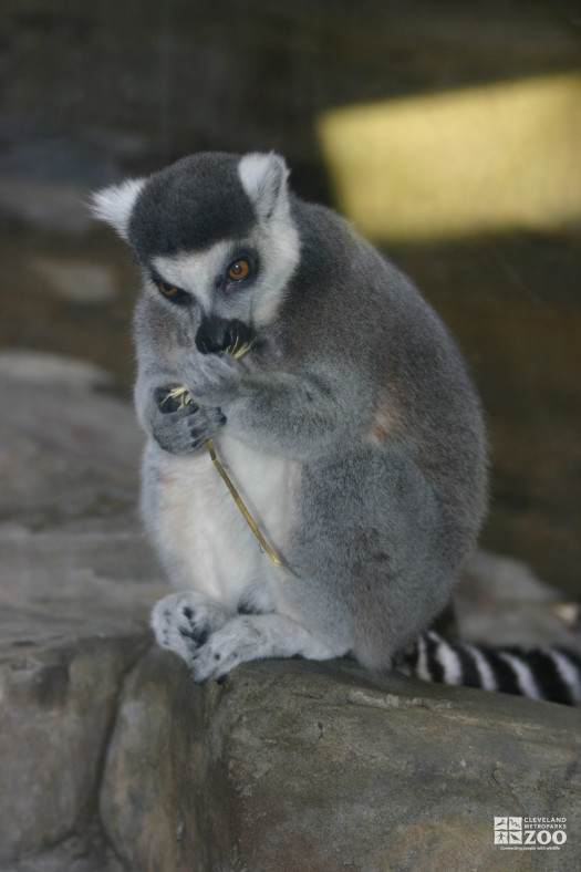 Ring Tailed Lemur Seated