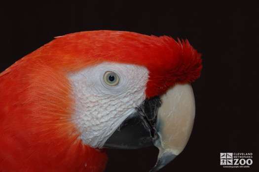 Scarlet Macaw Eye Close Up