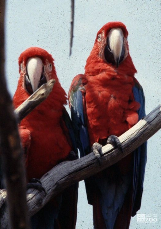 Scarlet Macaws Two on Branch