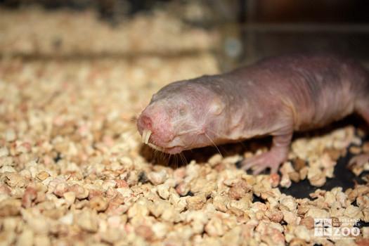 Naked Mole Mole Rat Facing Left