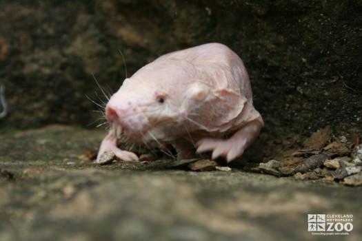 Naked Mole-Rat Moves Forward