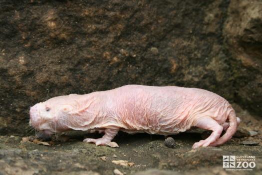 Naked Mole-Rat Profile Left