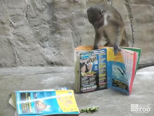 Allen's Swamp Monkey with Phone Book 2