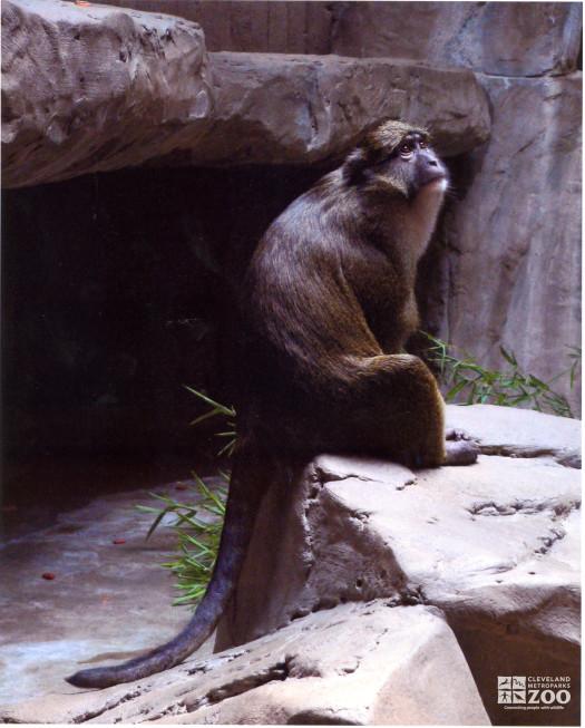 Allen's Swamp Monkey Looks Up