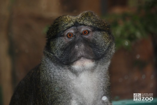 Allen's Swamp Monkey Looks Ahead