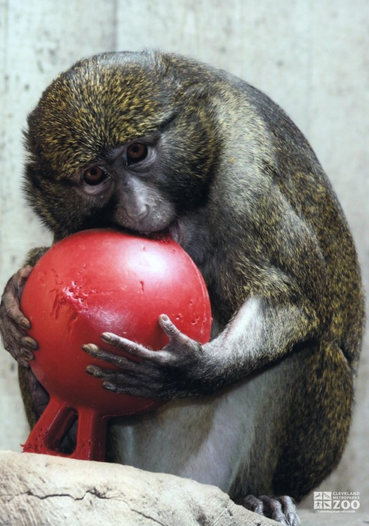 Allen's Swamp Monkey with Toy