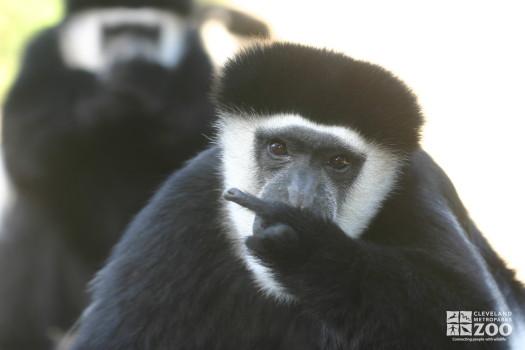 Colobus Monkey Points