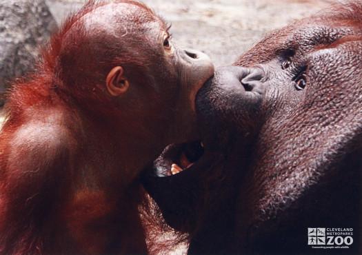 Orangutan and Infant