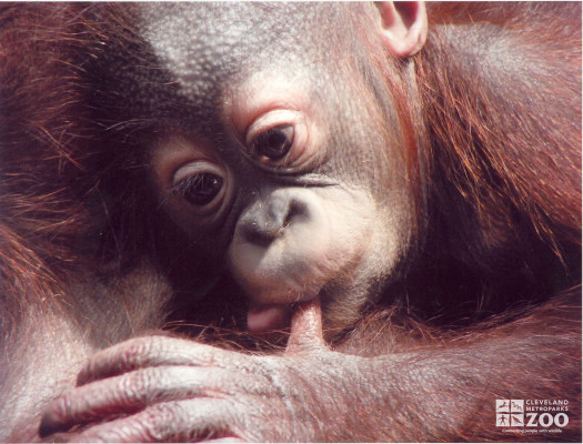 Infant Orangutan and Thumb