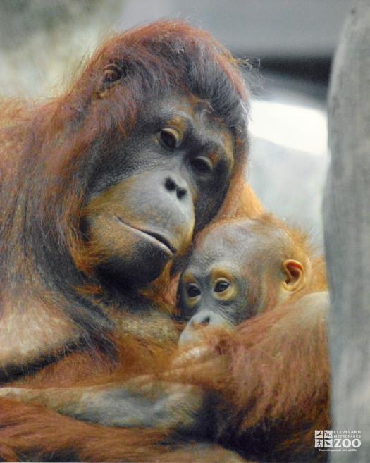 Orangutan with Infant