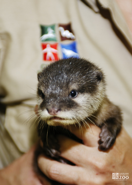Otter Baby