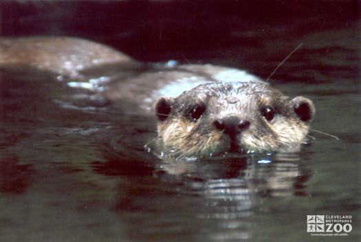 Oriental Small-Clawed Otter Swimming