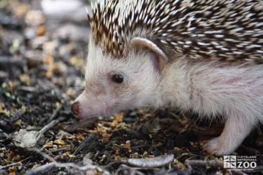 African Hedgehog Close Up Profile