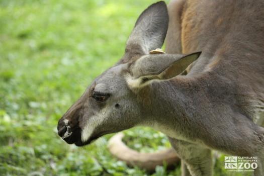 Western Grey Kangaroo Looks to the Side