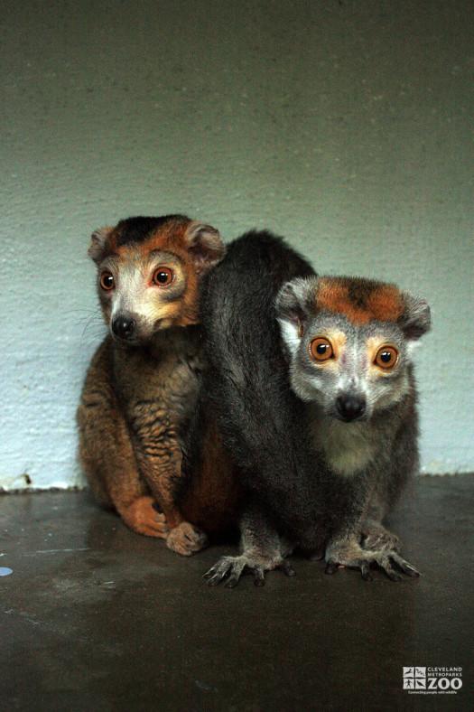 Crowned Lemurs Look Ahead