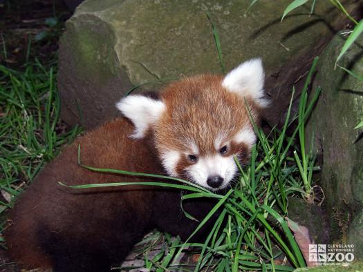 Infant Red Panda in Exhibit