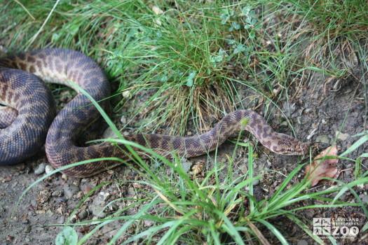 Children's Python in Grass