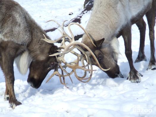 Reindeer Lock Antlers