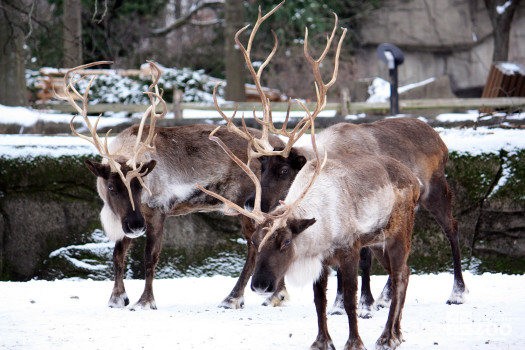 Reindeer Three Together