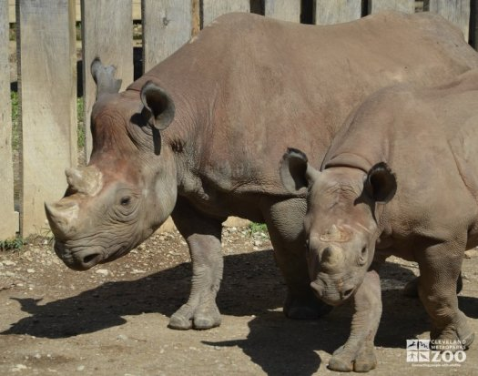 Rhinoceros and Calf