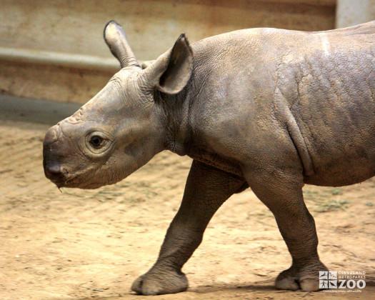 Rhino Calf Close Up