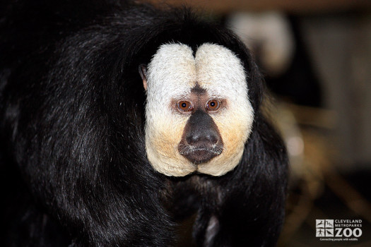 Pale-Headed Saki Monkey Close Up