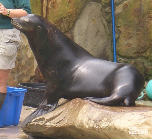Huck the California Sea Lion
