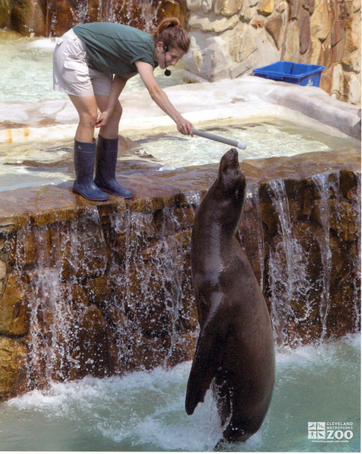 Sea Lion Jumps for Stick
