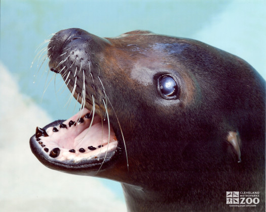 Sea Lion with Open Mouth